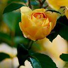 Beautiful David Austin Rosebud by imaginethis