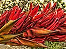 """Gymea Lily"" by debsphotos"