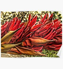 """Gymea Lily"" Poster"