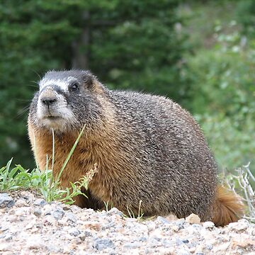 Marmot by shawphotography