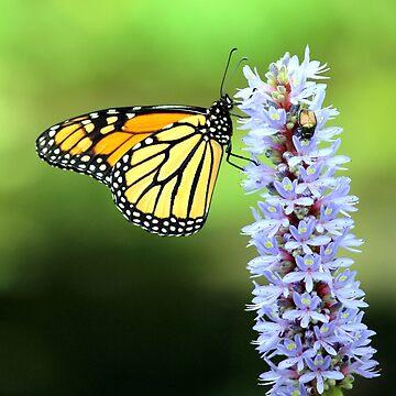 Beautiful Butterfly by croper