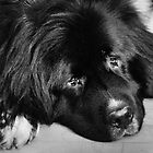 """Newfoundland dog ~ """"Dexter"""" by Laurie Minor"""