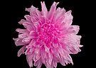 Pink Chrysanthemum by Sandy Keeton