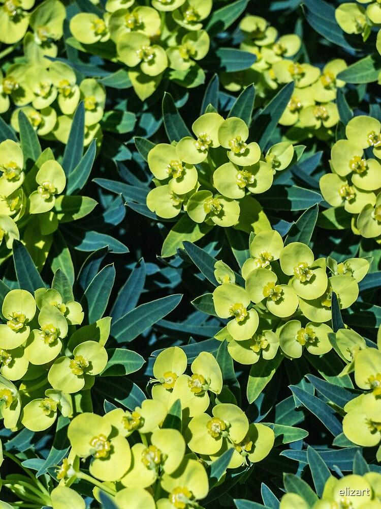 Euphorbia von elizart