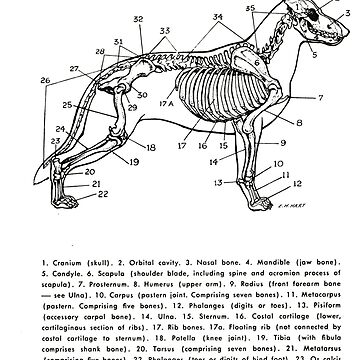 Skeleton of the Dog by Talierch