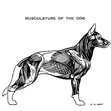 Musculature of the dog by Talierch