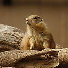 Prairie Dog by AnnDixon