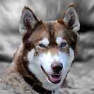 Siberian Husky by Simon Hackney