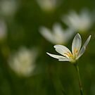White rain lily or zephyranthes candida by afby