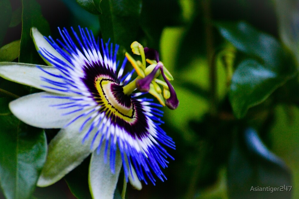 Passion Flower by Asiantiger247