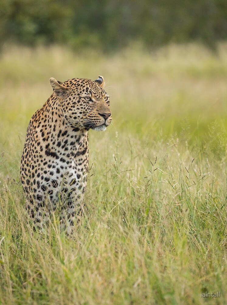 South African Leopard by iaintall