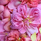 English Rose Petals by Alyson Fennell