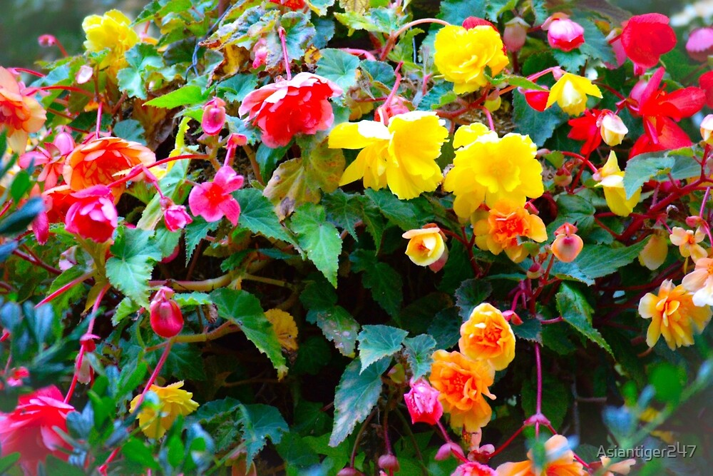Colorful Begonia Mix by Asiantiger247