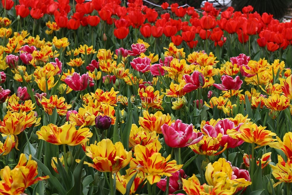 Multi colored tulips by Eve-and-Col