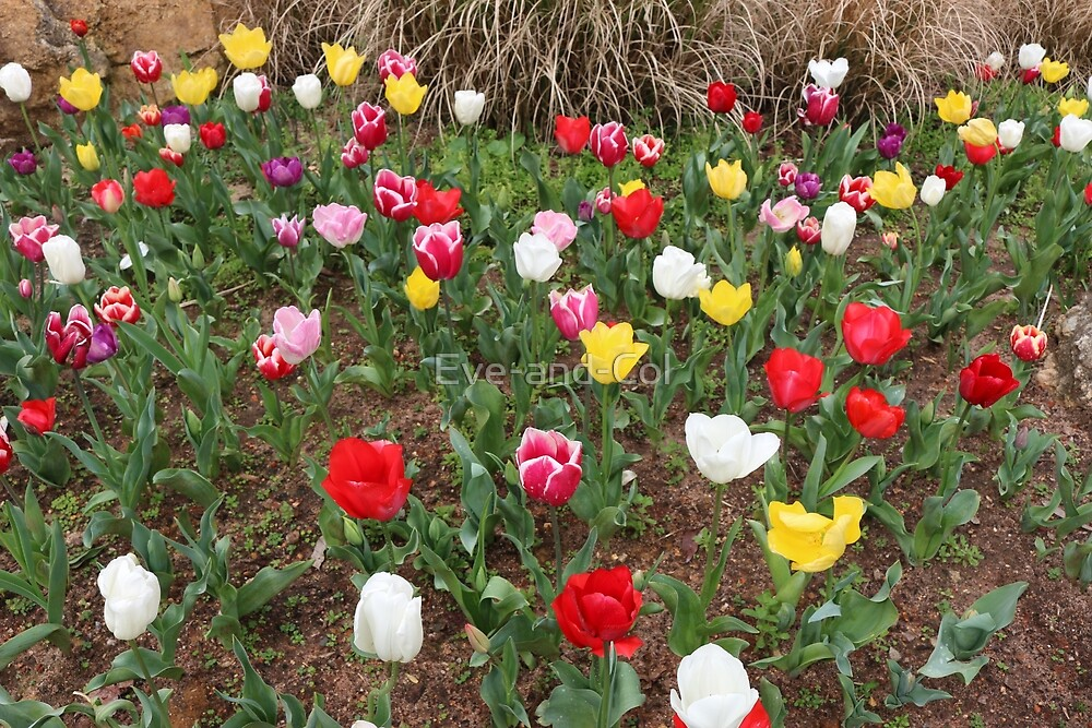 Mixed Tulips by Eve-and-Col