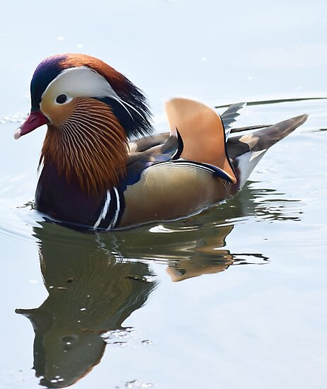 Mandarin duck  by SteveHarris123