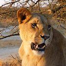 Lioness at sunset, Zimbabwe by npdesign