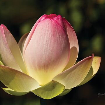 My Lotus Flower by Photograph2u