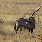 African gemsbok, Etosha National Park, Namibia by npdesign