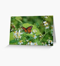 Viceroy Butterfly - Limenitis archippus Greeting Card