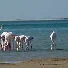 Pink flamingos, Mozambique, Africa by npdesign