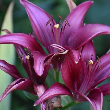 PURPLE LILLY by MarsGarden