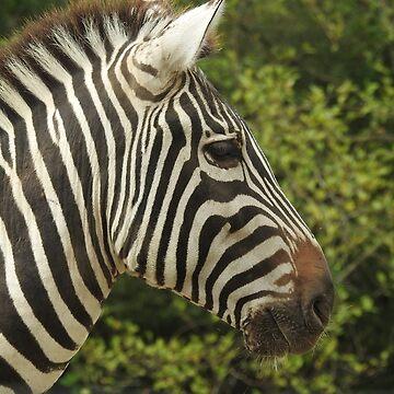 Grant's Zebra by RichImage