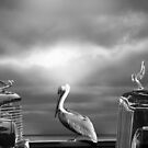 CONTEMPLATING THE PELICAN by Larry Butterworth