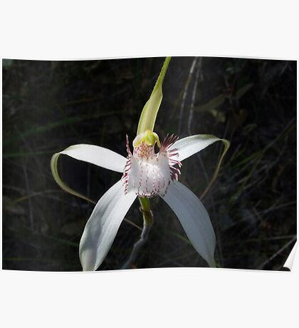 white spider orchid Poster