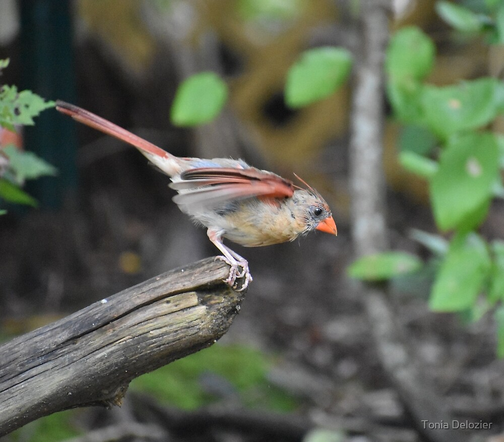Female Cardinal by Tonia Delozier