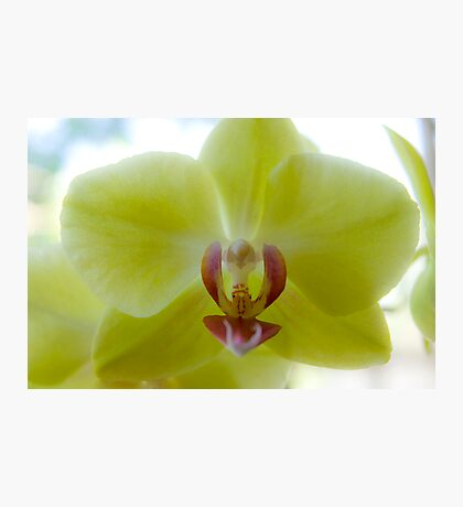Yellow Moth Orchid Photographic Print