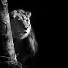 Male Lion - Okavango Delta by Sharon Bishop