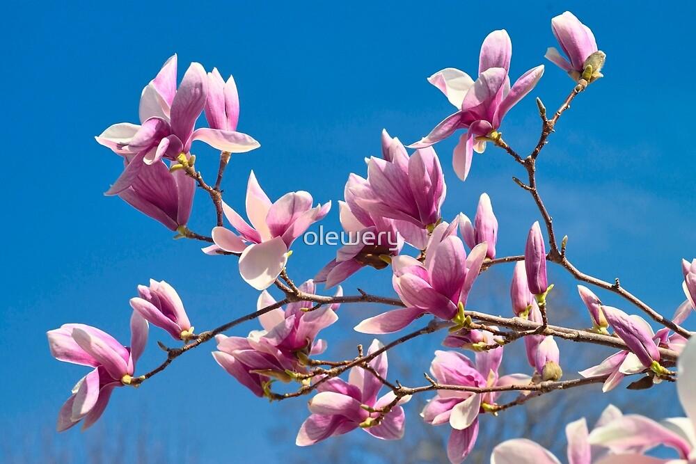 Magnolia Sky by olewery
