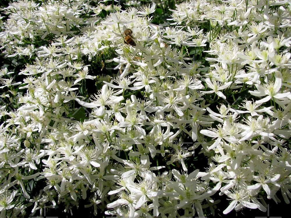 White Clematis Flowers by collageDP