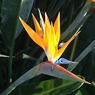 Bird of Paradise by jweekley