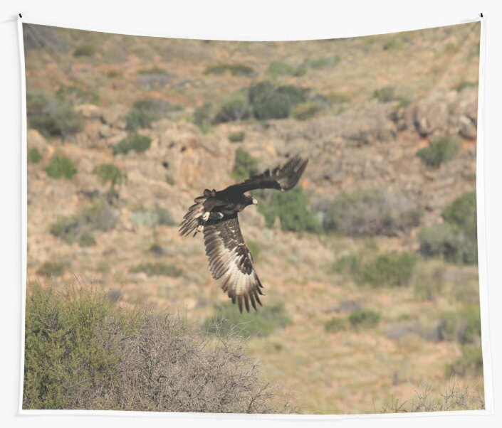 Wedge Tailed Eagle by AusAdventures