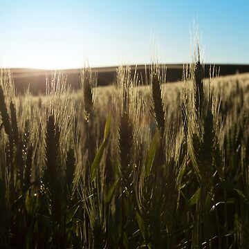 Wheat Stalks Photography Print by griffingphoto