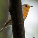 European robin (Erithacus rubecula) Rudzik by MarekM