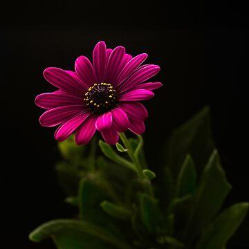 Daisy Chain by silvtom