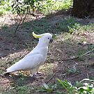Who goes there! Sulpher Crested Cockatoo. Australian Native. by Rita Blom