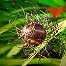 Seed Pod by triciamary