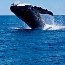 Humpback Whale by Sheldon Pettit