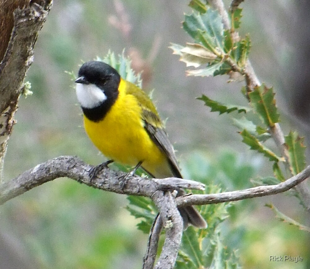 the golden whistler take 2 by Rick Playle