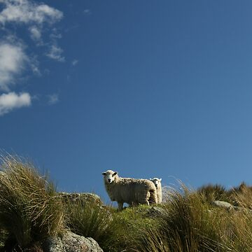 Sheep - New Zealand by jessannjo