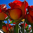 Summer roses.... by Patriciakb
