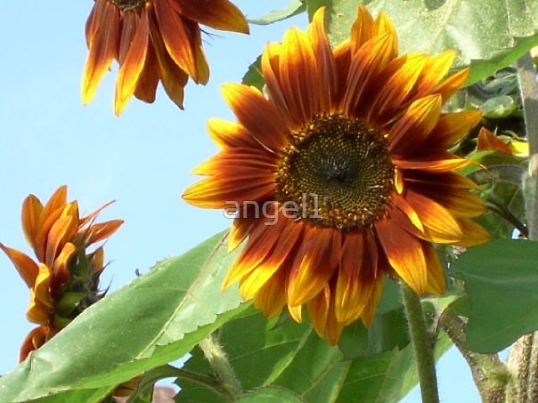portrait of a sunflower  by ©The Creative  Minds