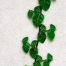 Ivy by winston53660