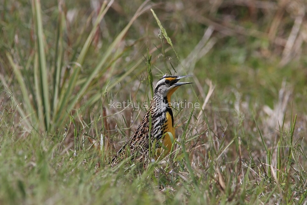 Eastern Meadowlark  by kathy s gillentine