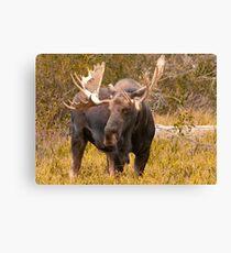 Bull Moose Canvas Print