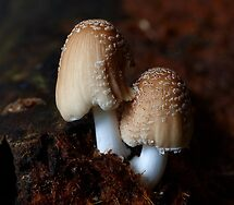 Coprinus radians (Booyong Reserve) by Steve Axford